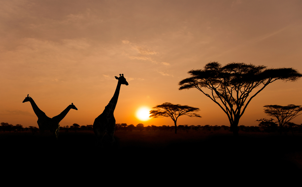 Landscape in Africa. Giraffes and trees in the background