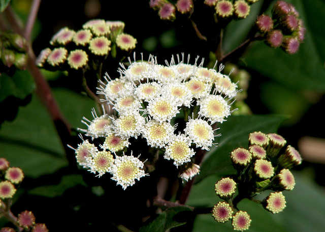 """Ageratina adenophora taking over Eaton Canyon"" by faria!  is licensed under CC BY 2.0"