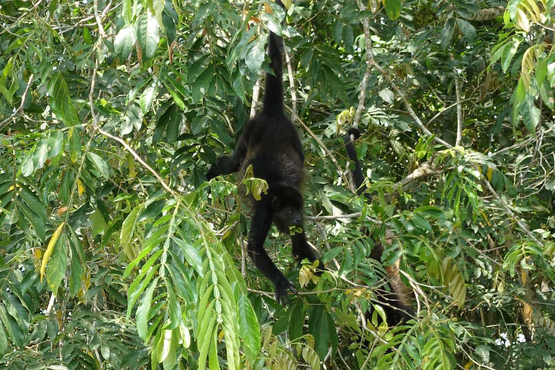 Howler Monkey on the River Frio by Sandy Borstein