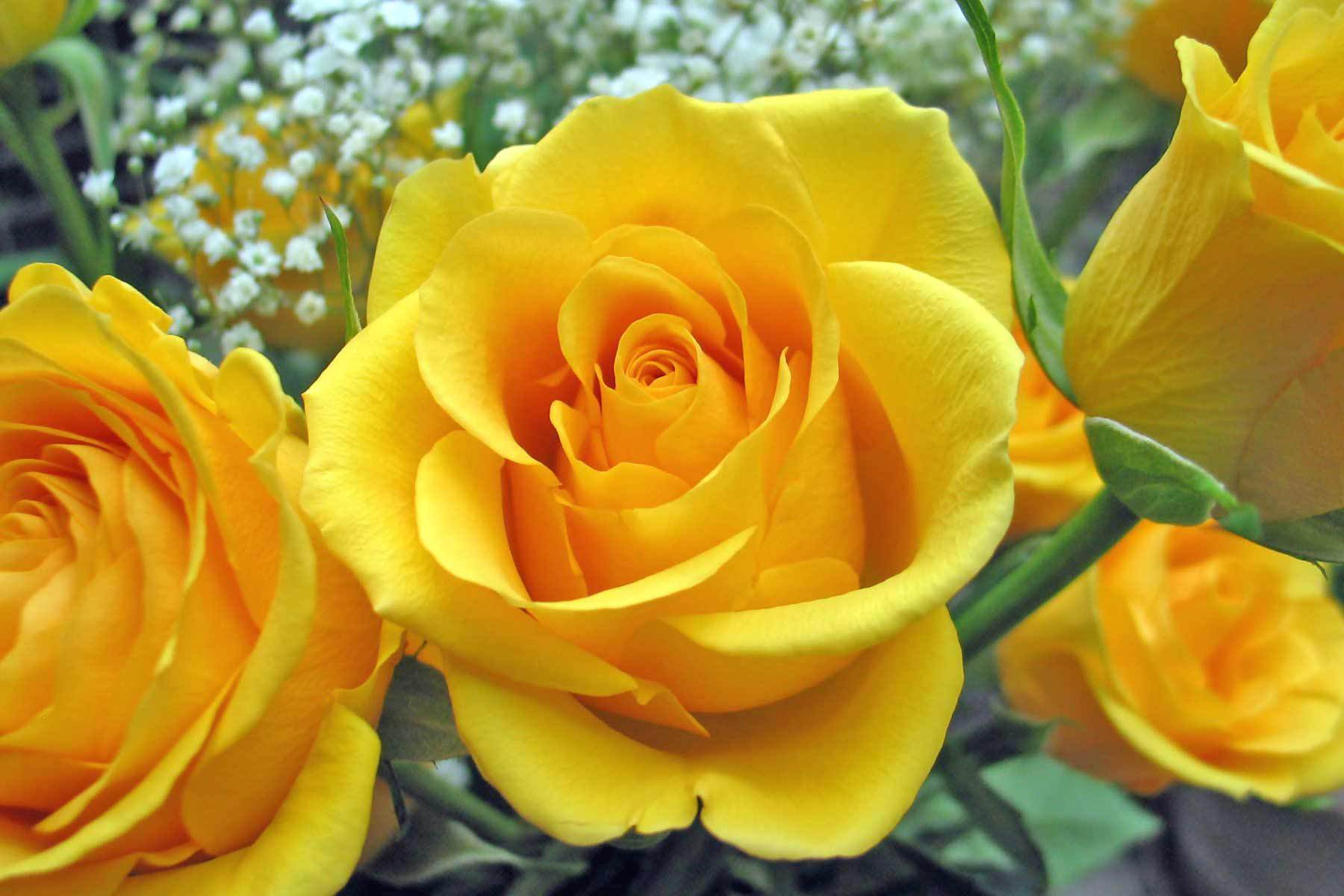 Awesome-Yellow-Rose
