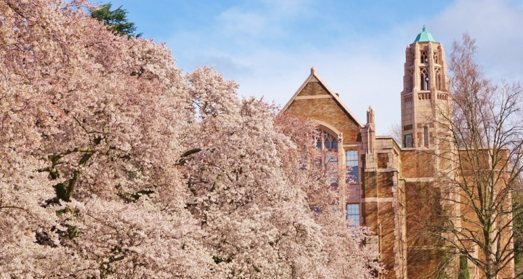 Several cherry blossom trees in full bloom on the University of Washington campus on a nice clear blue sky spring day with a school building in the background.