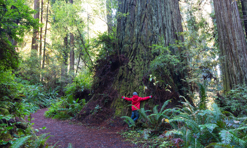 little boy touching giant redwood and enjoying hiking in gorgeous redwood national park