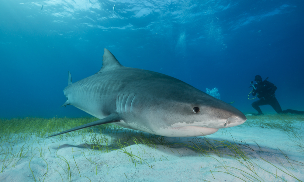 Close up face view of a Tiger shark swimming over sand