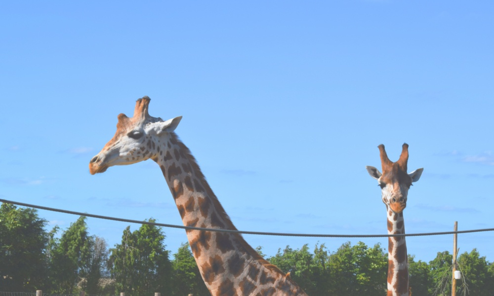 giraffes in captivity Zulu stands four feet higher than average giraffe and believed to be taller than any other animal in captivity, say keepers at pembrokeshire zoo.