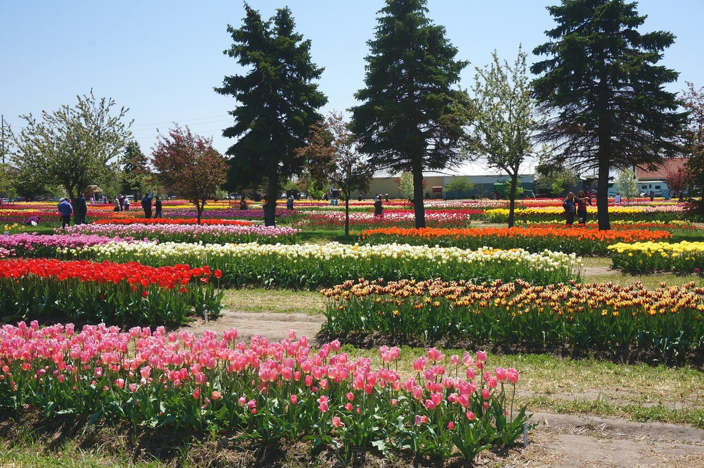 Tulip Time Festival Holland Michigan Veldheer Gardens Photo by Rachel Kramer
