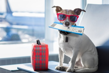 holiday vacation jack russell dog waiting in airport terminal ready to board the airplane
