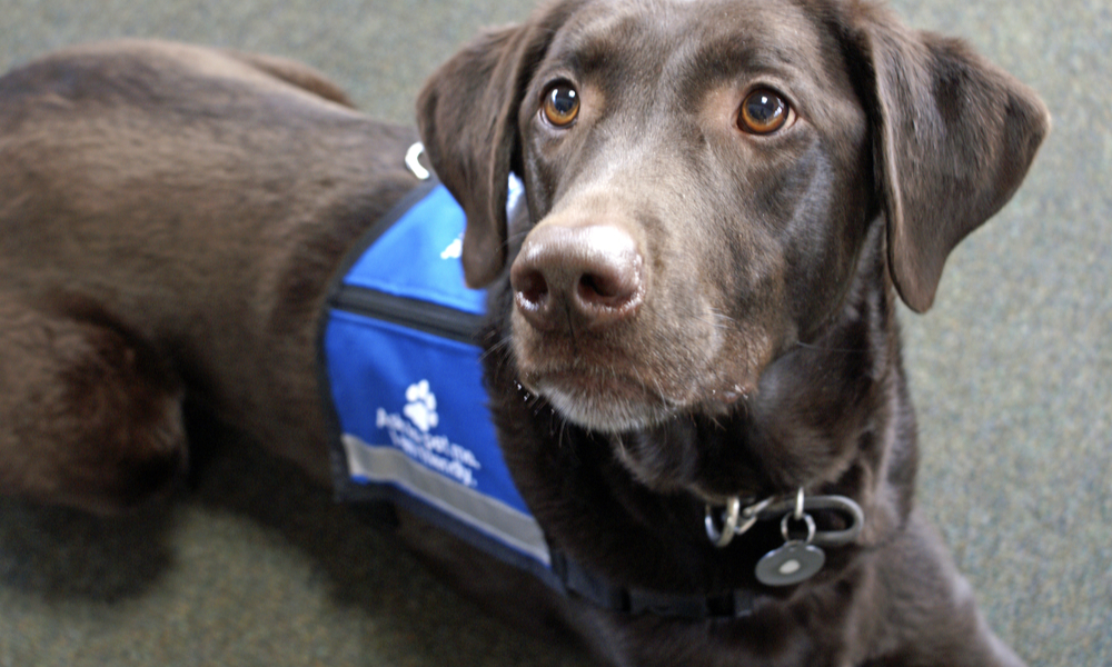 "almer the chocolate Labrador retriever, an expressive animal, lays looking eagerly off to the left while wearing a blue ""ask to pet me"" vest"
