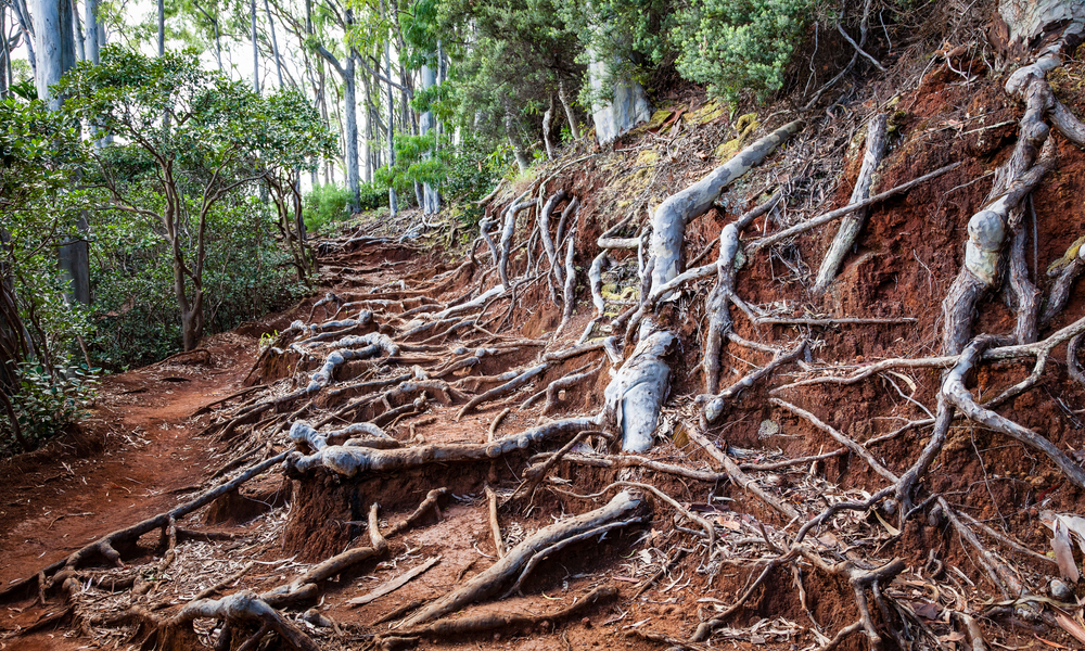 Scenic landscape view of the Aeia Loop Trail on Oahu, Hawaii with tree roots overgrown on path.