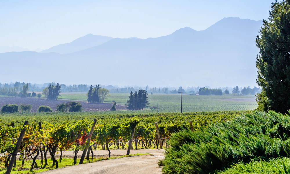 Organic vineyard located in the Maipo valley in the area around Santiago de Chile, sunny autumn day,