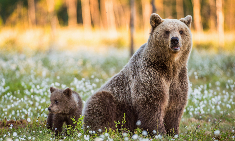 Cub and Adult female of Brown Bear in the forest at summer time.