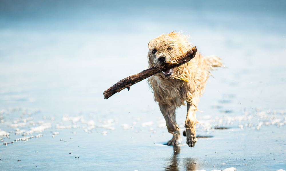 Dog Running With Stick