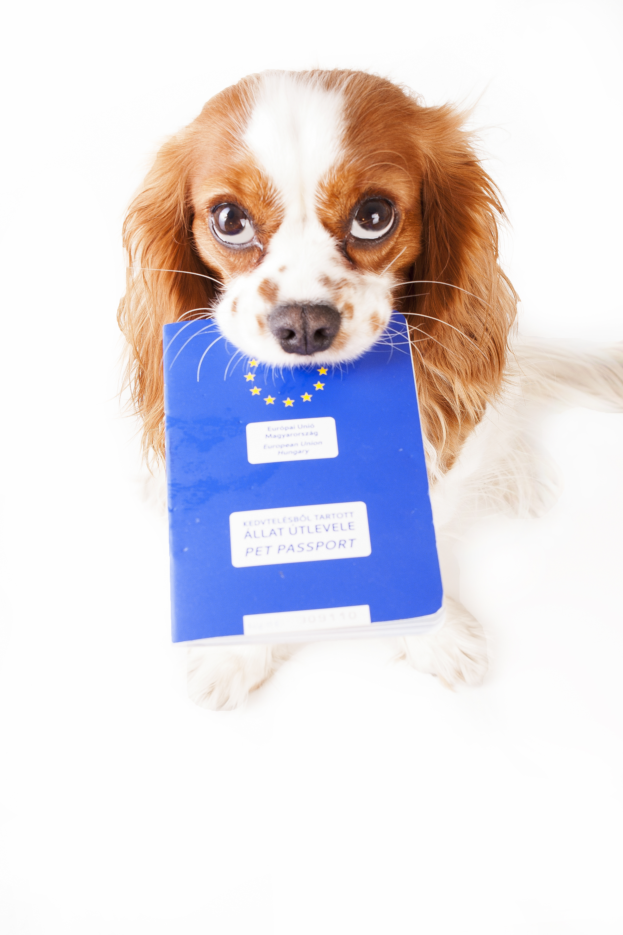 dog holding passport in mouth