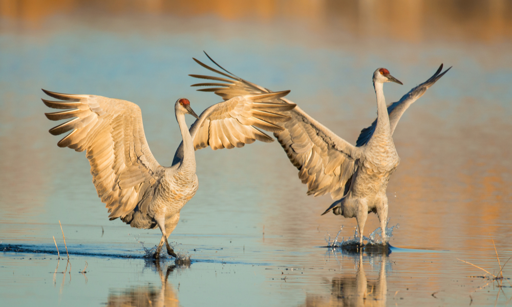 The best fall family vacations: Two sandhill cranes on a pond in Bosque del Apache National Wildlife Refuge near Socorro, New Mexico