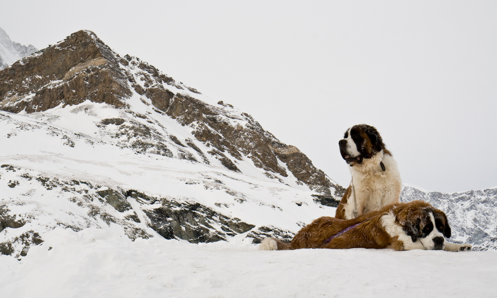 Best Places to Learn to Ski in the US: St Bernard dogs in the snow