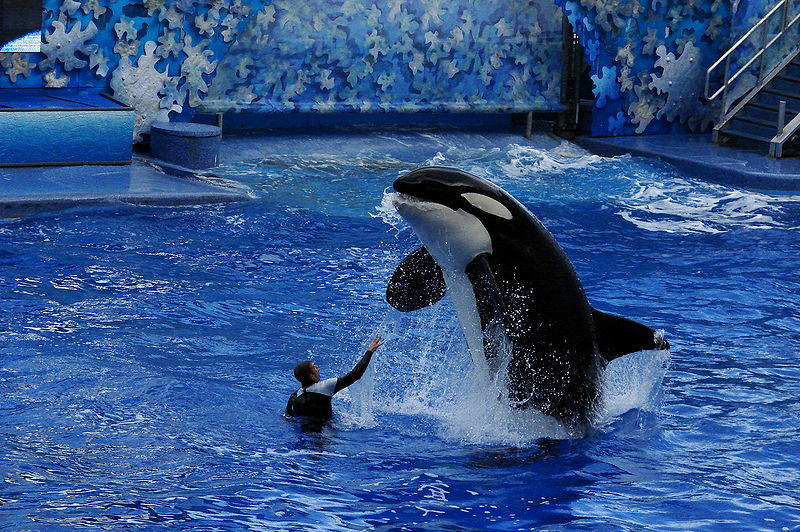 Trainers are eager to work closely with Orca whales once again<br /> (Image: Wikimedia)