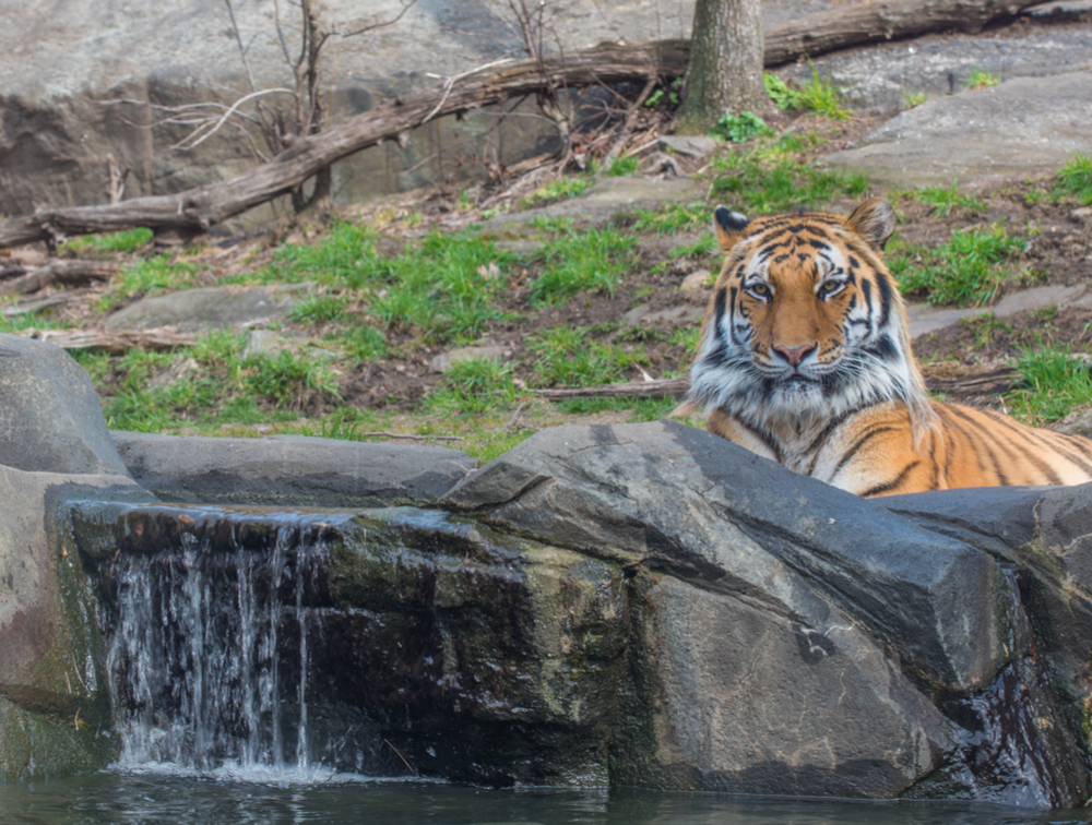 tiger laying on a rock at the zoo