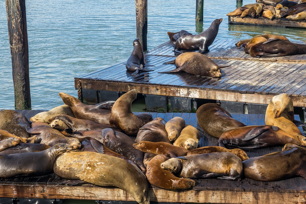 Seals Napping